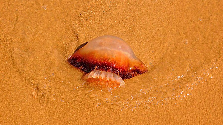 Photographybybrookechanelle Oceanlife Beachphotography Myrtle Beach SC Jellyfish