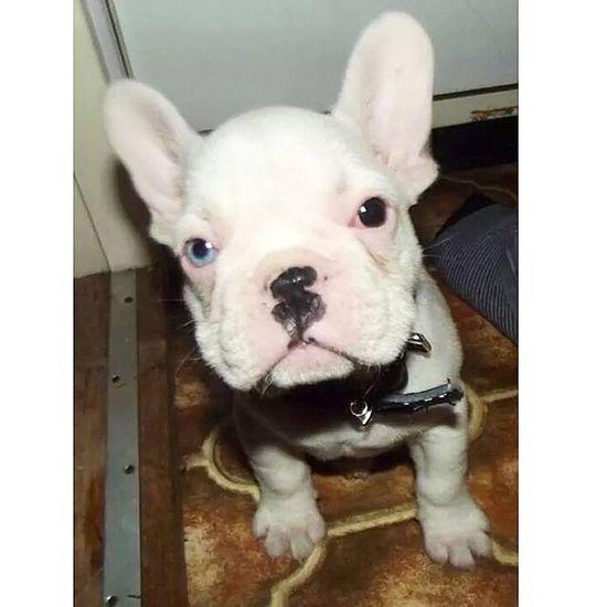 Frenchbulldog Frenchie Frenchboy Best Frends #ministitch#stitch
