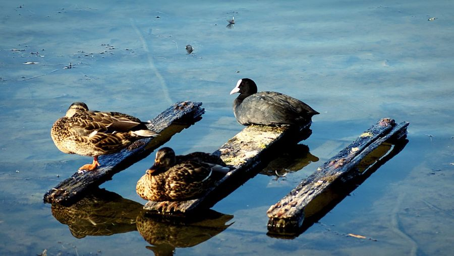 Ducks hanging out Water Nature Bird Animal Wildlife Animals In The Wild Lake Animal Day No People Animal Themes Reflection Group Of Animals High Angle View Waterfront Outdoors Sunlight