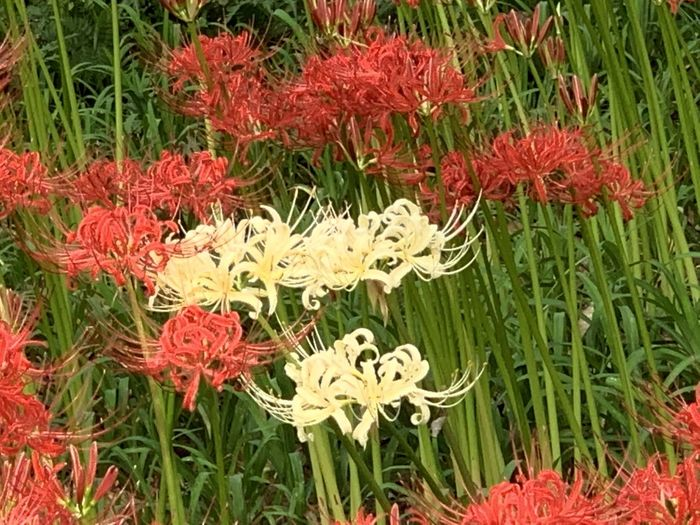 Close-up of red flowering plants on field