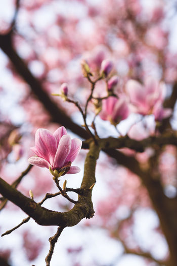 fragile beauty. Backgrounds Beauty In Nature Blossom Branch Close-up Day Flower Flower Head Fragility Freshness Growth In Bloom Magnolia Magnolia Blossoms Millennial Pink Nature No People Outdoors Petal Pink Color Plant Springtime Sunlight Tree Twig