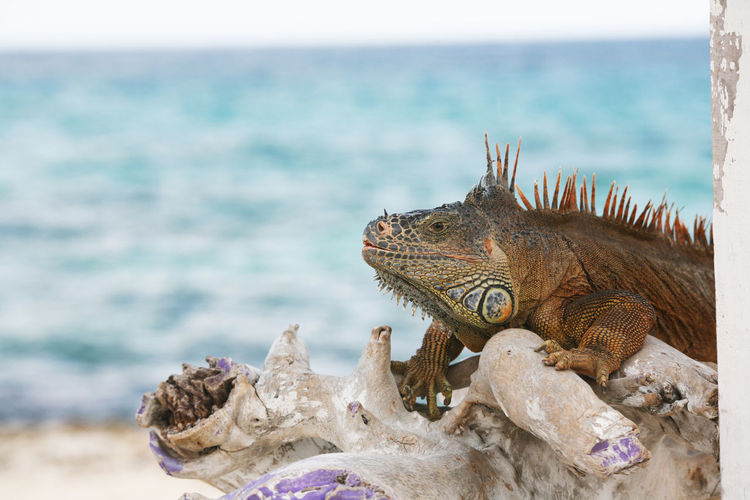 Close-up of bearded dragon on driftwood at beach