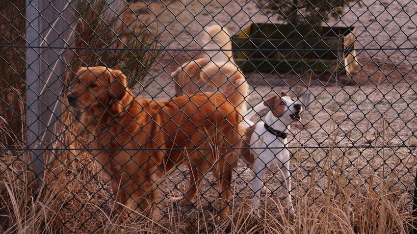Animal Themes Dogs Fence Goldenretriever Outdoors