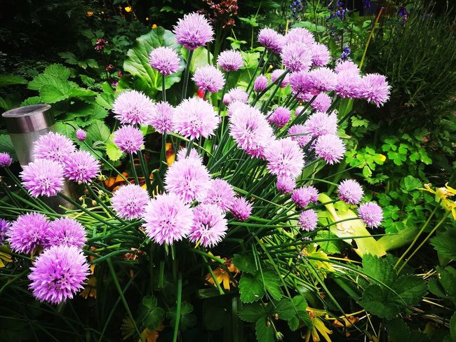 Purløg Garden Photography Garden Blooming Onion Family Flower Head Flower Leaf Close-up Plant Blooming Green Color In Bloom Plant Life Growing Blossom