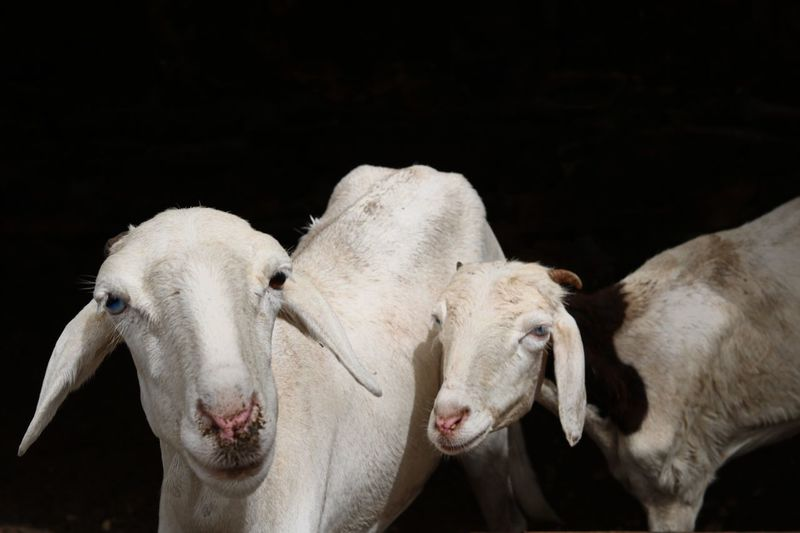 Père et frère Africa Goats Goat Animal Themes Animal Mammal Vertebrate Group Of Animals Domestic Animals The Great Outdoors - 2018 EyeEm Awards Livestock No People Animal Body Part Domestic Animal Wildlife Two Animals Close-up Nature White Color Animals In The Wild Outdoors