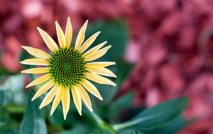 Yellow coneflower - The flower of the summer Beauty In Nature Blooming Close-up Cornflower Day Flower Flower Head Fragility Freshness Growth Macro Macro Beauty Macro Photography Macro_collection Nature No People Outdoors Petal Plant Yellow