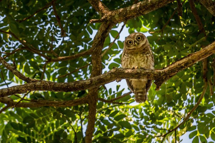 The curious owl of synergy farms! Tree Branch One Animal Animal Wildlife Animals In The Wild Day Outdoors Animal Themes Nature No People Sitting Owl Birds, EyeEm Best Shots Eye4photography  EyeEm EyeEm Best Edits EyeEm Nature Lover