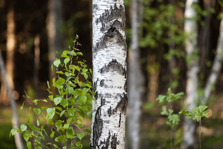 Close-up of bamboo on tree trunk in forest