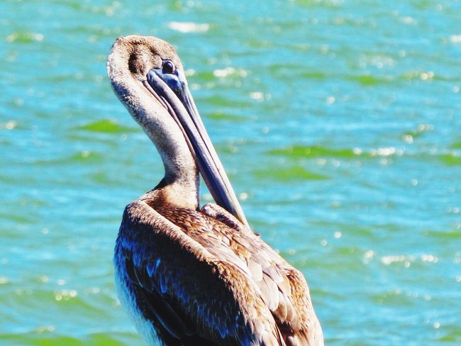 One Animal Water Bird Animals In The Wild Pelican Lake Swimming Animal Themes Nature Day Outdoors Beak No People Close-up Rockport Texas