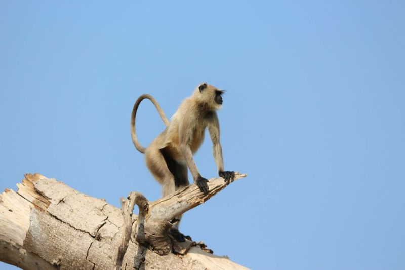 Low angle view of monkey sitting on wood against clear sky