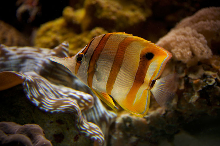 Close-up of yellow butterflyfish swimming undersea