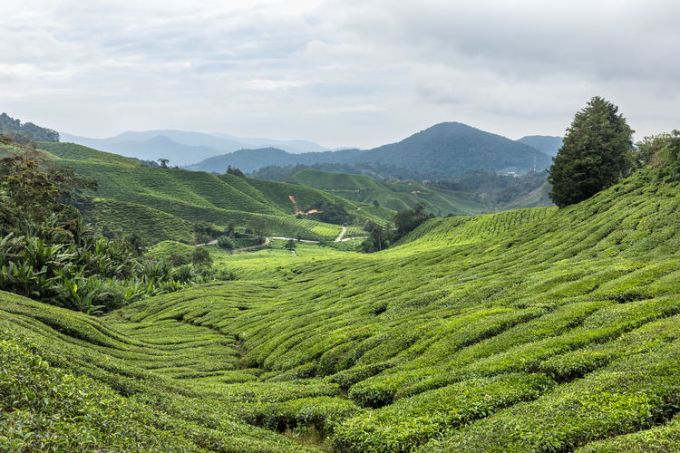 Tea plantation in the Cameron Highlands, Malaysia Cameron Highlands EyeEmNewHere Tea The Week On EyeEm Agriculture Beauty In Nature Cloud - Sky Day Field Green Color Growth High Angle View Landscape Malaysia Mountain Mountain Range Nature No People Outdoors Scenics Sky Terraced Field Tranquility Tree