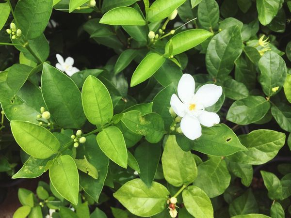 Plant Part Leaf Beauty In Nature Growth Plant Flower Flowering Plant Green Color Vulnerability  Freshness Close-up Fragility Nature High Angle View White Color