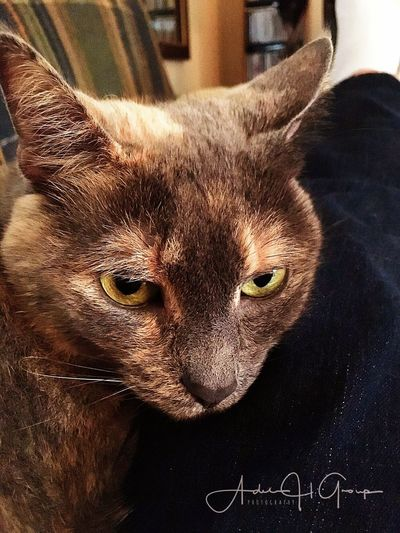 Cat Domestic Cat Tortie Diluted Calico Relaxing
