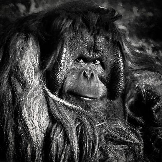 Orangutan or