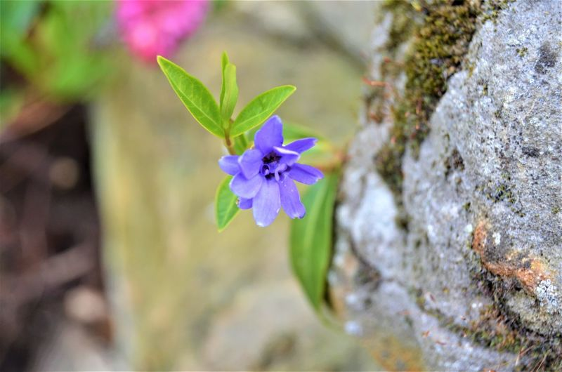 Plant Flower Flowering Plant Beauty In Nature Freshness Close-up Fragility Vulnerability  Nature Petal No People Flower Head Growth Inflorescence Purple Plant Part Leaf Focus On Foreground Day Blue Outdoors Nature By Tania Andreea
