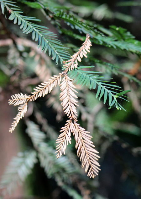 Plant Green Color Close-up Growth Tree Nature No People Day Selective Focus Focus On Foreground Leaf Beauty In Nature Plant Part Pine Tree Coniferous Tree Branch Outdoors Fir Tree Needle - Plant Part Pinaceae