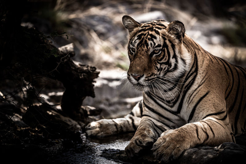 View of a tiger in zoo