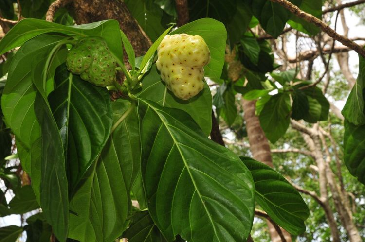 Noni Fruit Cahuita National Park Costa Rica Fruit Noni Tree Leaf Growth Green Color Nature Plant Tree Day No People Beauty In Nature Outdoors Close-up Freshness Food Healthy Eating