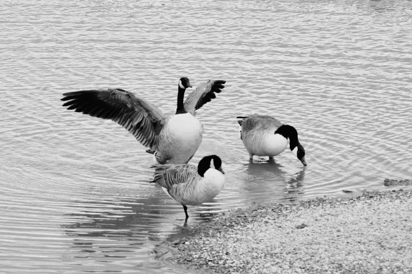 Bird Photography Capturing Movement Showcase:March Nature On Your Doorstep Wildlife & Nature Canadian Geese Geese Gathering Water_collection Water Reflections Wetlands Birds Of EyeEm  Wings Spread Your Wings