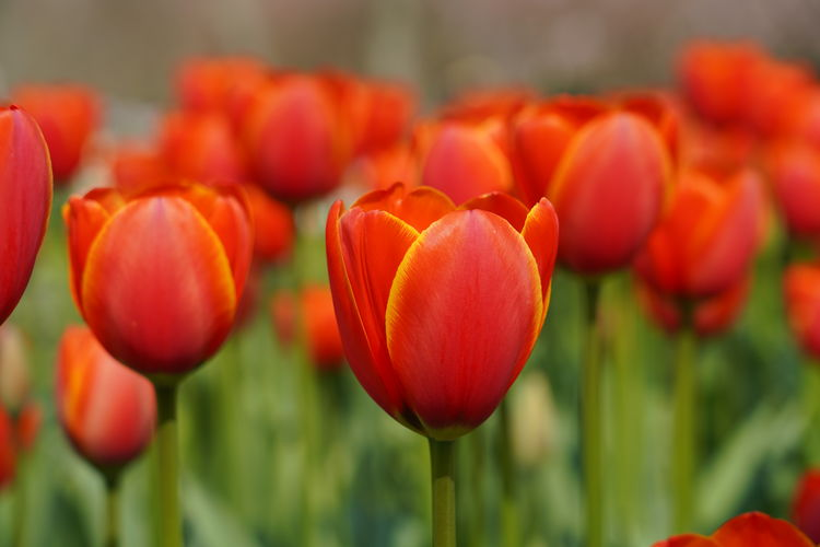 Tulips Keukenhof Colorful Amsterdam Garden Photography Garden Flower Flower Head Poppy Red Tulip Close-up Plant Blooming Blossom