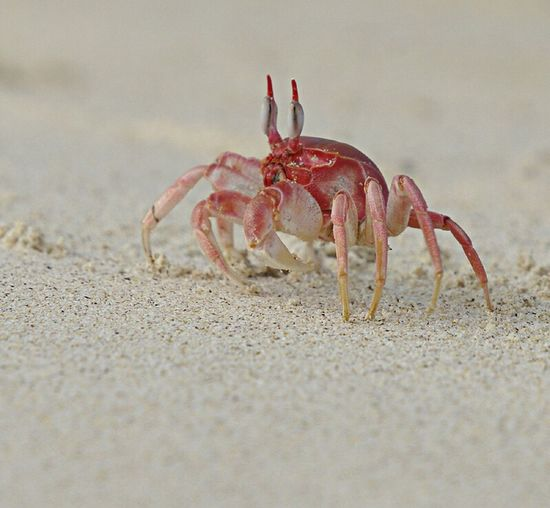 crab , ghost crab, Galapagos , Sand Crab Red Selective Focus Surface Level Nature No People Wildlife & Nature Wildlife Photography Outdoors Nature Water One Animal Animals In The Wild Wildlife Animal Themes Galapagos Islands Ghost Ghost Crab