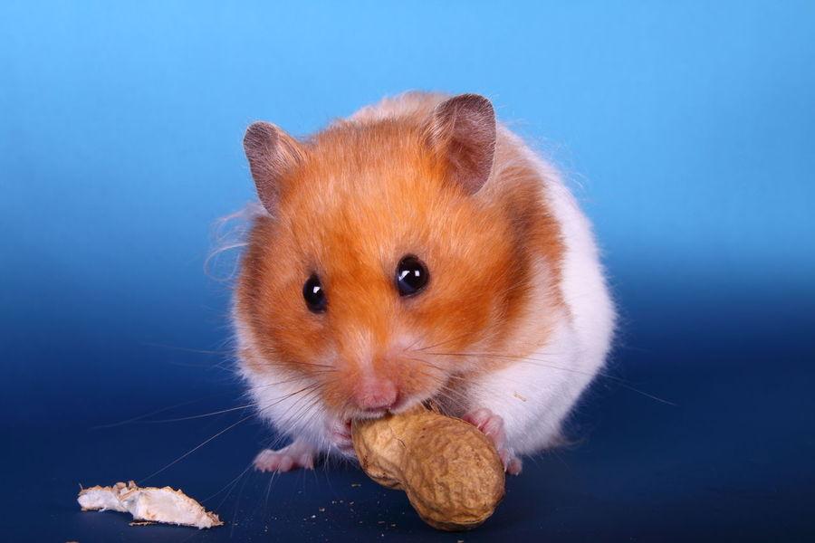 Syrian hamster eating a peanut Adorable Animal Close-up Cute Cute Pets Domestic Animals Feeding  Food Fur Furry Hamster Isolated Mammal Nut Nuts One Peanut Pet Portrait Pretty Rodant Single Syrian Hamster