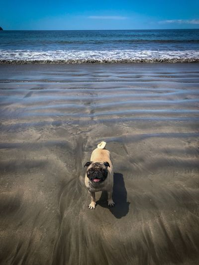 Pug on the beach 💕 Costa Rica Dog Pug Beach Land Sea Water Sand Horizon Over Water Scenics - Nature Canine Animal No People Animal Themes Nature Wave