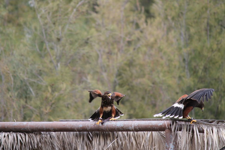 Eagles perching on metallic structure against trees