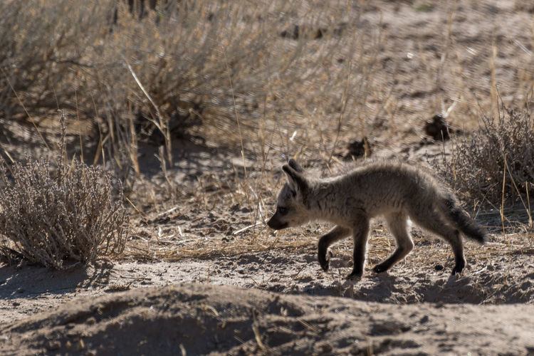 A bat-eared fox pup going for a stroll African Animals Desert EyeEm Nature Lover Wildlife Photography Animal Themes Animal Wildlife Animals In The Wild Bat Eared Fox Bat-eared Fox Fox Full Length Kgalagadi Transfrontier Park Mammal Nature No People One Animal Outdoors Pup