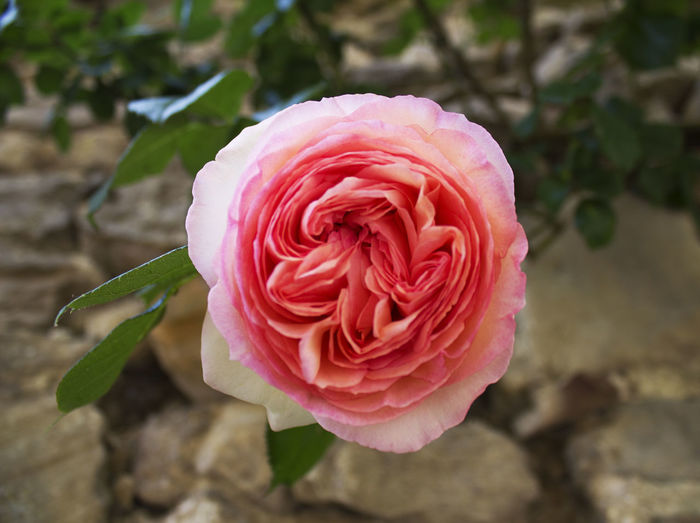 Camon pinky rose France Beauty In Nature Blooming Close-up Flower Flower Head Fragility Freshness Nature No People Petal Rose - Flower