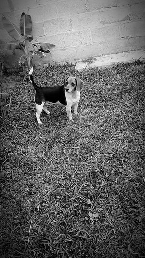 Best dog ever Dunita Beagle Dog Cute Pets Baby Beautiful Blackandwhite Photography