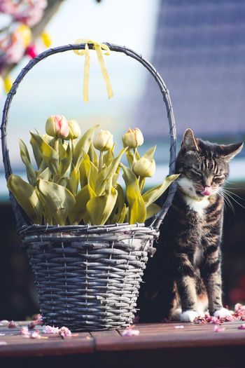 Spring Feelings. Cat Flowers Garden Pets Outdoors Tulip One Animal Lick Tongue Relax Spring Feeling Chill