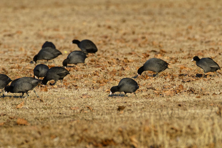 Coots on a field