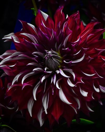 Dahlia Flower Dahlia Flowers Dahlia Flower Flowering Plant Vulnerability  Fragility Inflorescence Petal Beauty In Nature Outdoors Day No People Pollen Focus On Foreground Nature Red Growth Plant Close-up Flower Head Freshness