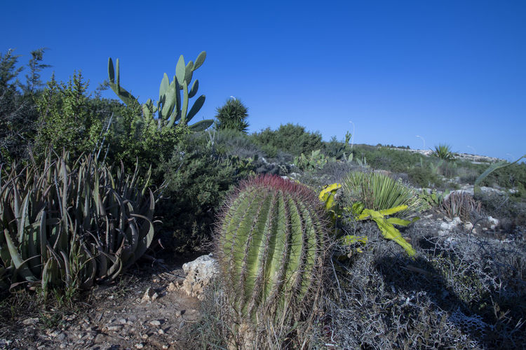 Cactus growing on field against clear blue sky