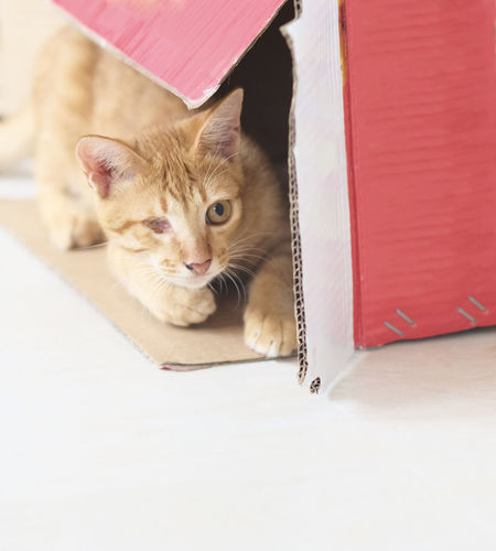 Brown cat playing hide and seek in a cardboard box Box Brown Cardboard Cat Copy Space Day Domestic Cat Feline Hide And Seek Kitten Natural Light No People Pet Playful Playing Pet Portraits