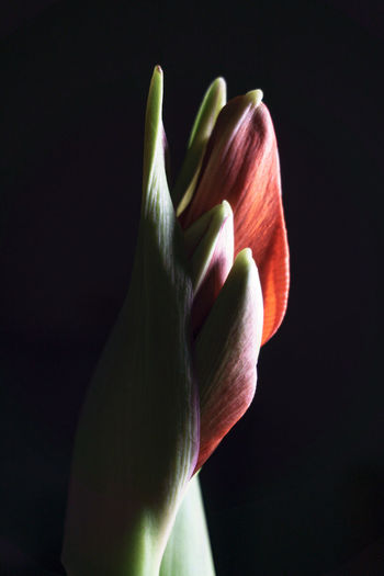 Close-up of flower head against black background