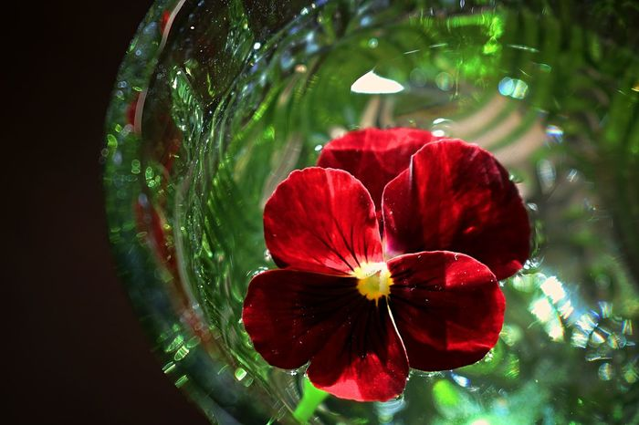 Flower Collection Flower Photography EyeEm Nature Lover Flowers Of EyeEm Red Flower Water Flower On Water Reflections Silence Of Nature Silent Moment Shining Bright Flower Fragility Nature Red Beauty In Nature Petal Close-up Freshness Growth Day Flower Head Outdoors No People