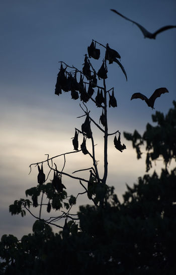 Foxbats in Thailand ASIA Bat Thailand Tree Animal Themes Bats Close-up Fox Fox Bat Foxbat Foxbats Fruit Low Angle View Nature No People Outdoors Silhouette Spread Wings Tree Wings