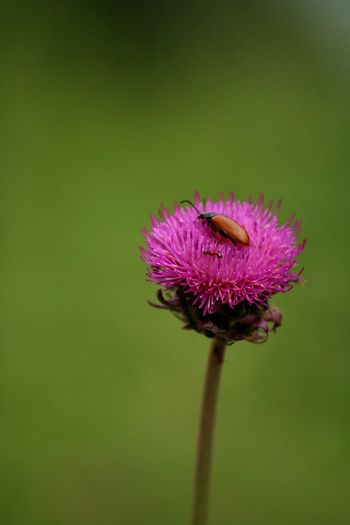 Flower Head Flower Thistle Eastern Purple Coneflower Pollination Bee Perching Insect Bumblebee Petal My Best Photo