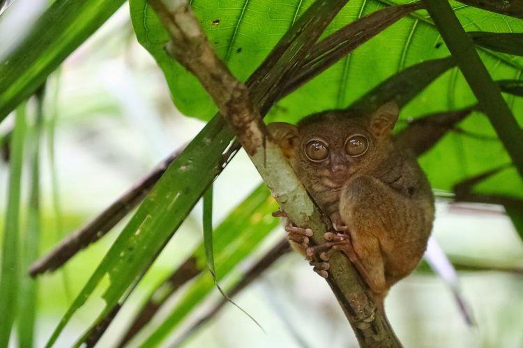 너무 귀엽던 타르시어 원숭이 - 보홀 . . #하루한컷 #타르시어원숭이 #필리핀 #보홀 #5DMARK4 #새아빠백통 #EF70200F28LIIISUSM Tree Portrait Branch Perching Looking At Camera Full Length Reptile Close-up