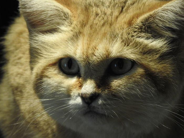 Sandkatze Sandcat Portrait Pets Looking At Camera Leopard Feline Whisker Close-up Cat Big Cat