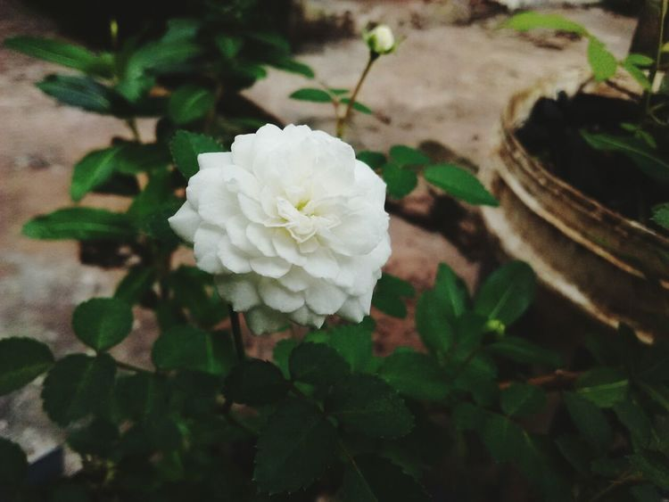 Flower Flower White Close-up Fragility White Color Plant Nature Leaf Beautiful Nature Beauty In Nature Petal Growth No People Day Rose - Flower Flower Head Outdoors