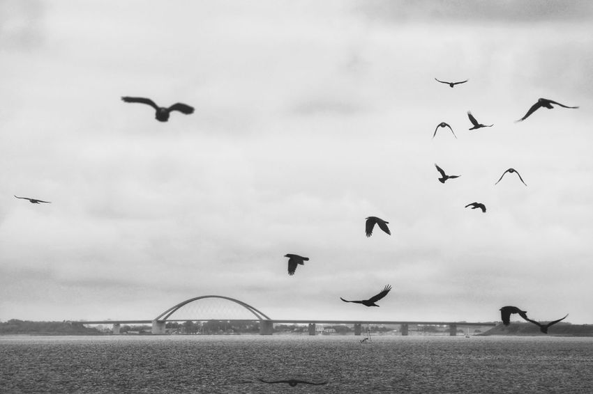 Fehmarnsundbrücke Flock Of Birds Scenics Beauty In Nature Architecture Bridge - Man Made Structure Bnw Monochrome Photography Exceptional Photographs Taking Photos Nature Outdoors Seascape Built Structure Black & White Check This Out Animal Themes Birds Raven EyeEm Best Shots Animals In The Wild