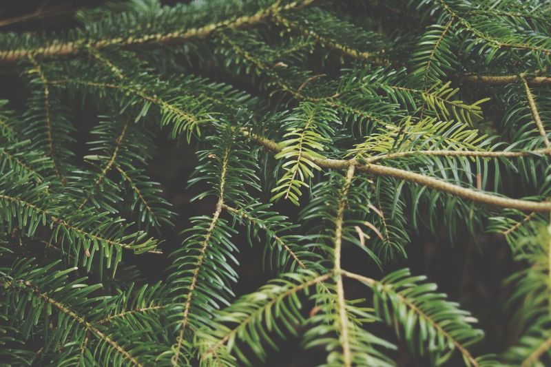Pine tree Pine Tree Pinaceae Leaf Full Frame Tree Close-up Plant Green Color Needle - Plant Part Pine Cone Pine Woodland Palm Leaf Coniferous Tree Lush - Description Needle Frond Fir Tree Evergreen Tree My Best Photo