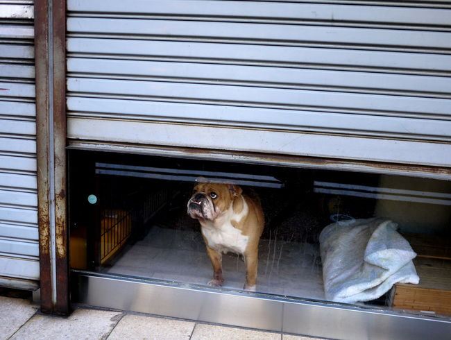 Bulldog Domestic Animals Lonely Looking Out Of The Window No People Pets Roller Doors Window