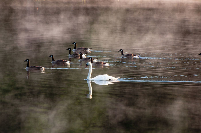 Morning Mist Outlier Stand Out From The Crowd Animal Themes Animal Wildlife Animals In The Wild Beauty In Nature Bird Day Focus On Foreground Lake Lake View Large Group Of Animals Mist Morning Dew Nature No People Outdoors Reflection Spread Wings Swan Swimming Water Water Bird