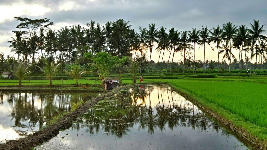 Bali - Tengkukak Bali Ubud Jeanmart First Eyeem Photo, Ricefields Verybalitrip Bali 16:9 Very Bali Trip
