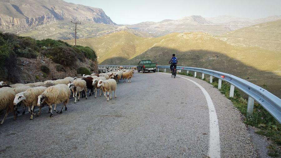 Sheep walking on mountain road